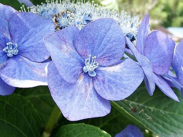 萼(がく)紫陽花(70257 byte)