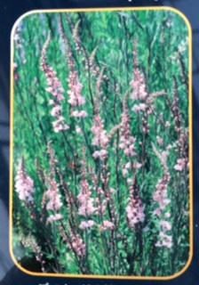 宿根草-2