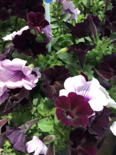 夏の花-12