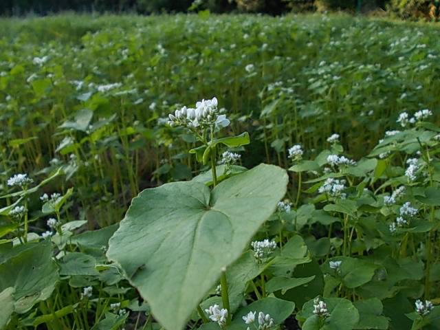 Buckwheat 'Harunoibuki' 20150519