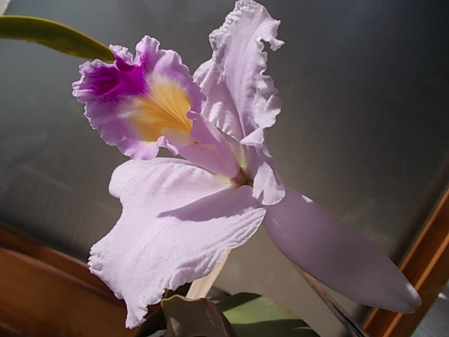Cattleya trianae 'The King' 20150223