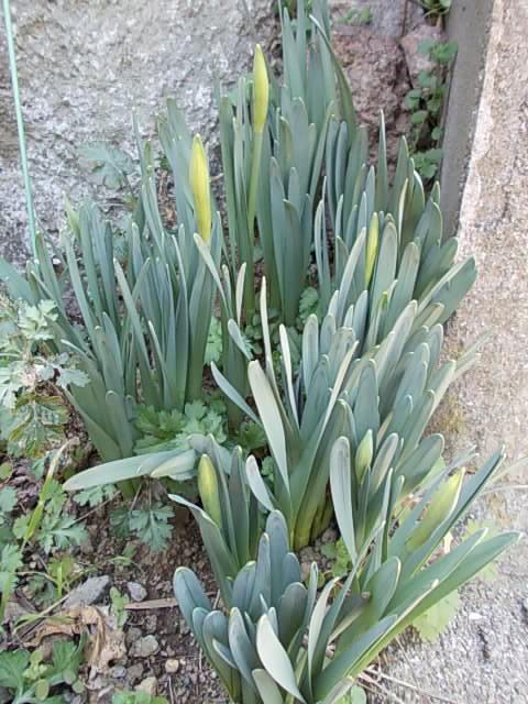 Daffodil 20150220-2