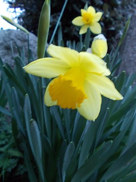 Daffodil 20150308