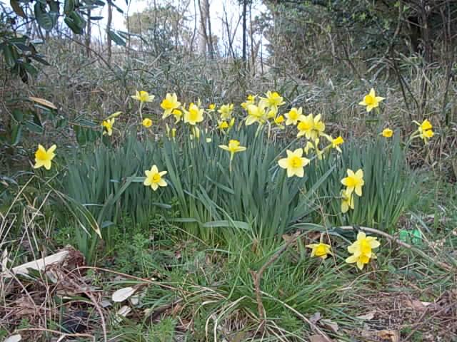 Daffodil 20150321