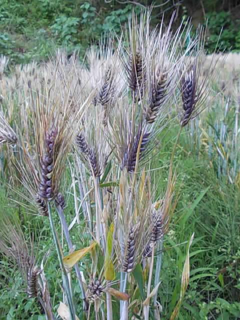 Daishimochi barley 20150521