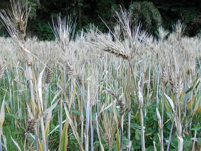 Daishimochi barley 20150524