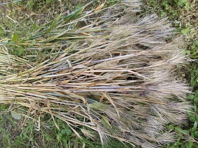 Daishimochi barley 20150525