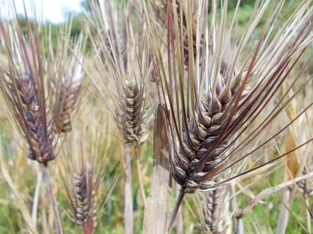 Daishimochi barley 20150525-2