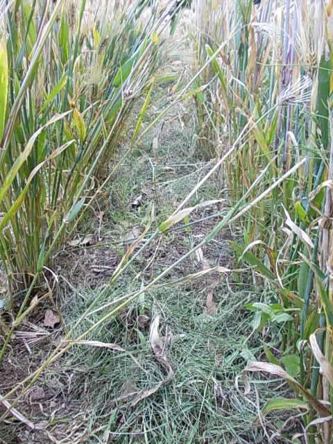 Daishimochi barley 20150526