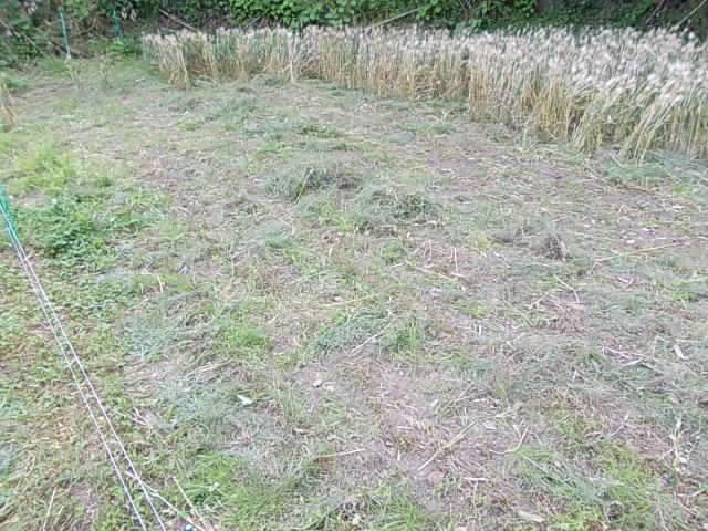 Daishimochi barley 20150526-2