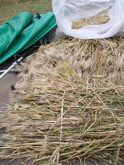 Daishimochi barley 20150602