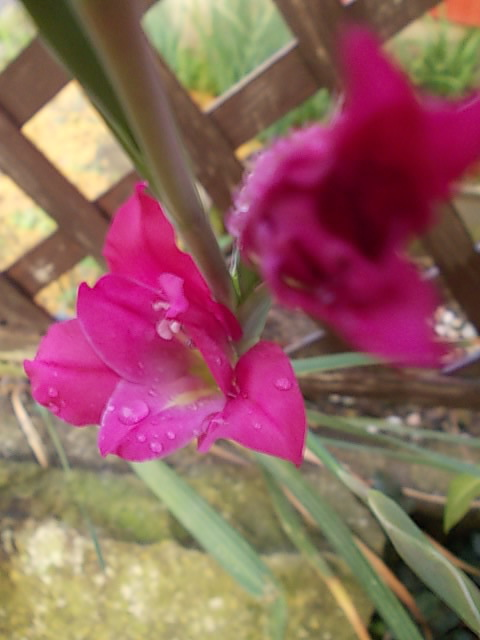 Gladiolus 20150115