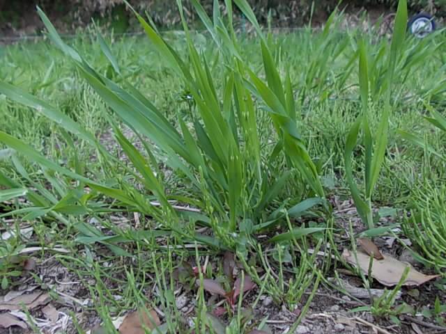Ichibamboshi barley 20150329