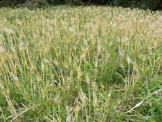 Ichibanboshi barley 20150528