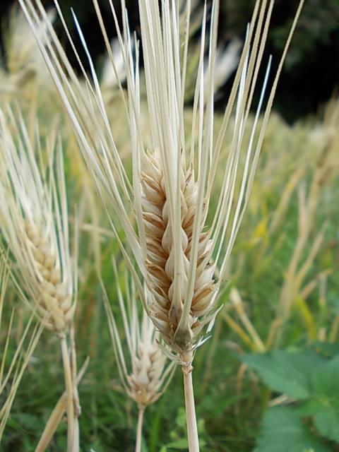 Ichibanboshi barley 20150528-2