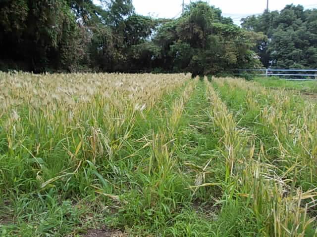 Ichibanboshi barley 20150602