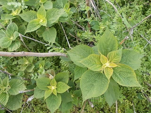 Karamushi weed 20150330