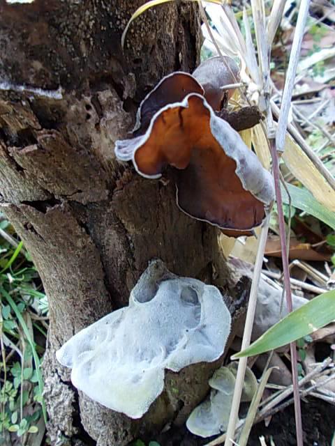 Kikurage mushroom 20150223
