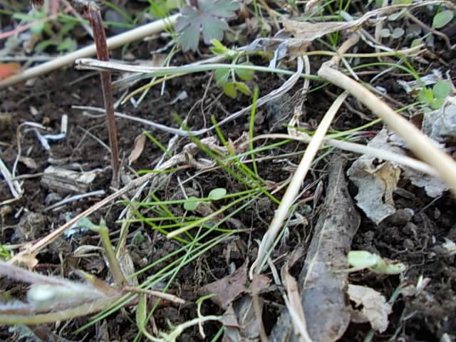 Naginatagaya grass 20150212