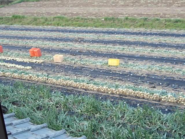 Onion farm 20150328