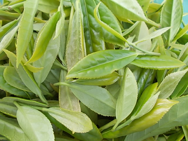 Tea 'Benifuuki' 20150502