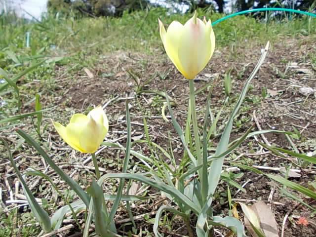 Tulip 20150412