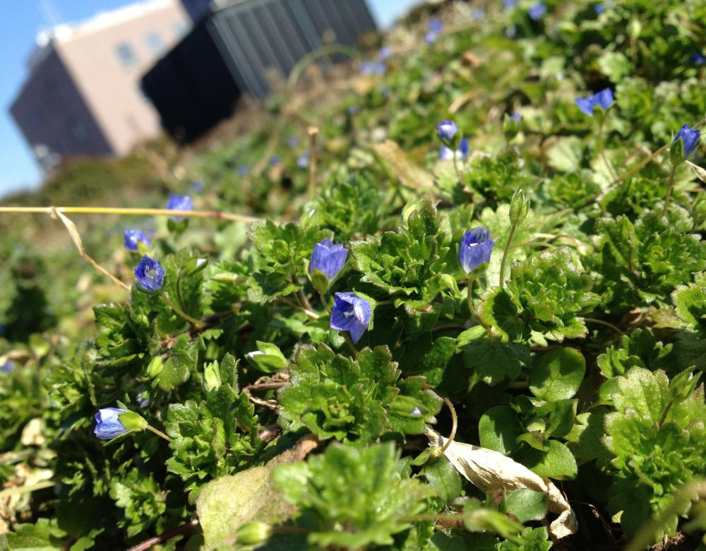 K君の青い花