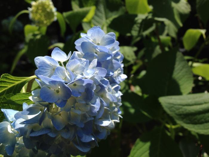 アジサイの花びらは小さな蝶の羽のよう