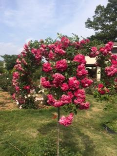 茨城花センター バラ
