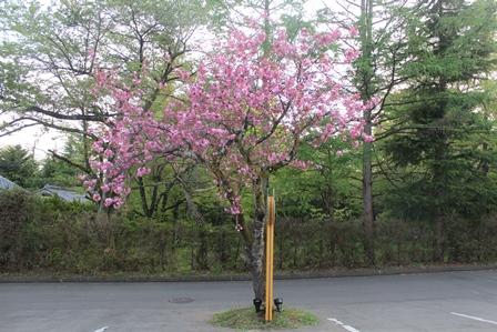 0428桜