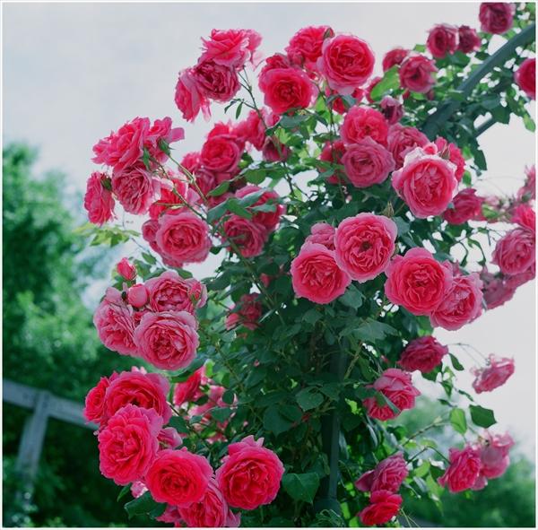 ローライ-2015-5-24-花フェスタ-フジ160-2-65-n-010002_R