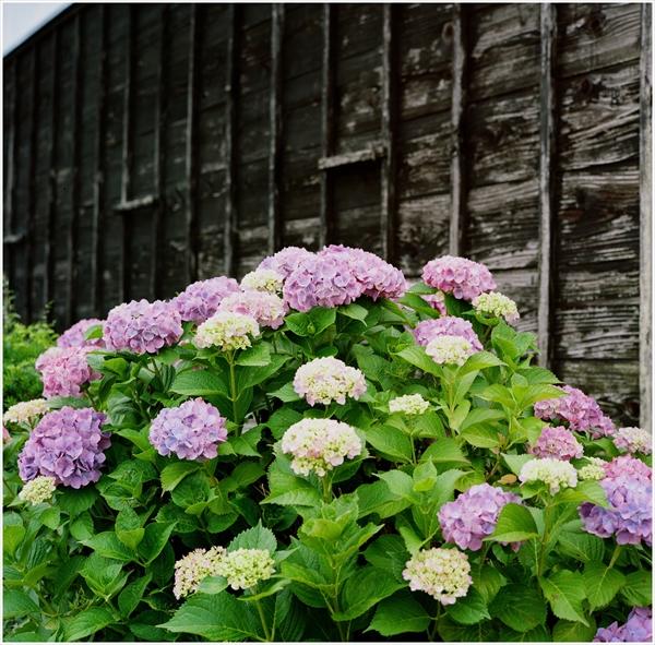 ローライ-2015-6-14紫陽花portra16-3-722-n-40003_R