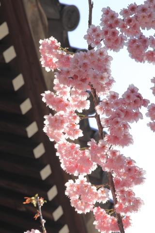 20150308sakura2.jpg