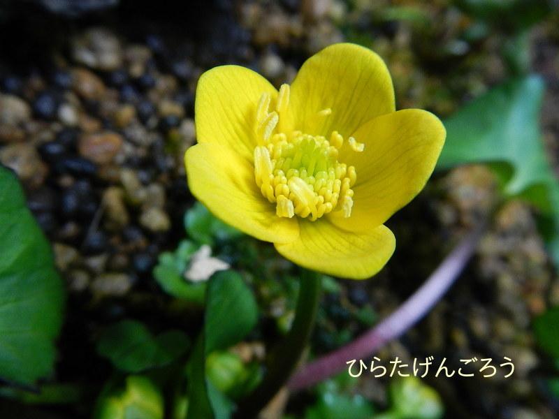 ryukinka2.jpg