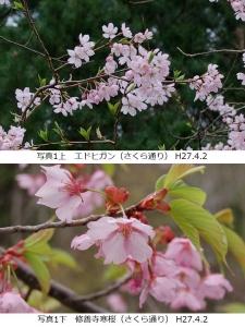 エドヒガン、修善寺寒桜