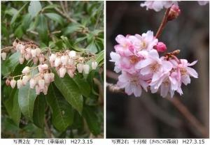 アセビ、十月桜
