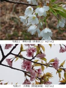 寒咲大島、大寒桜
