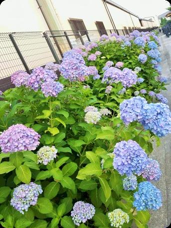 色づいた紫陽花2