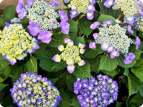 色づいた紫陽花3