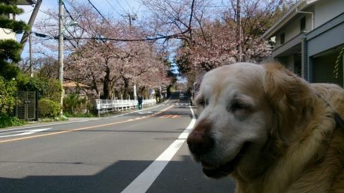 桜とおりPicsArt_1427606386899