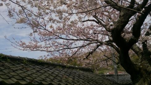 老桜PicsArt_1427617000054