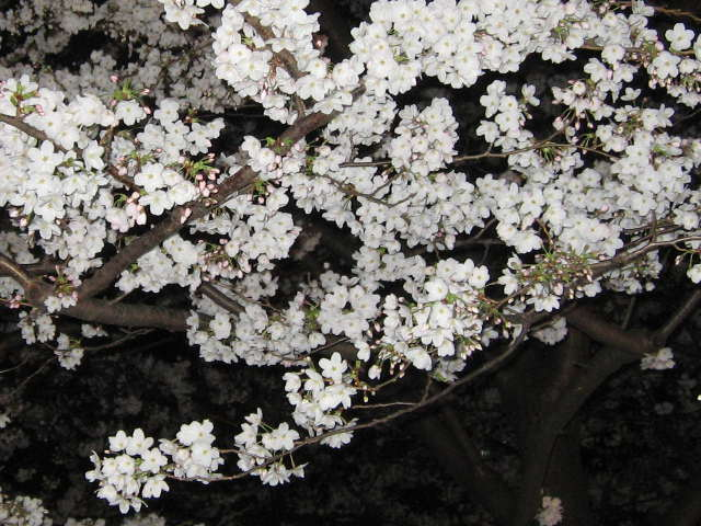 2015年の桜