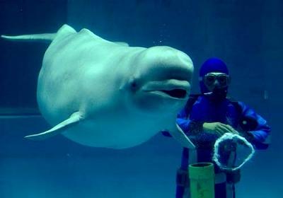 白イルカ1