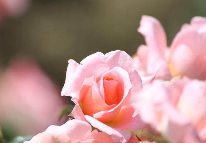 150517薔薇4