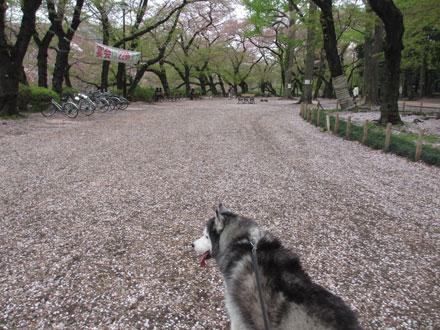 桜の終わった井の頭公園