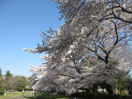 桜満開の野川公園