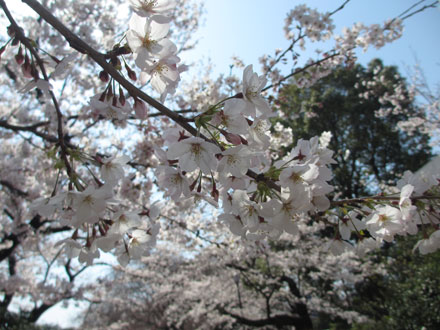千鳥ヶ淵お花見散歩