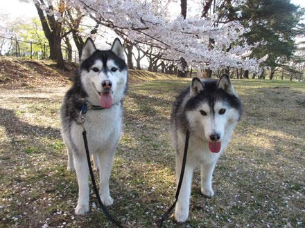 野川公園お花見散歩