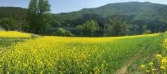 20150515CAAD10北竜湖菜の花c
