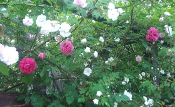 つる薔薇1
